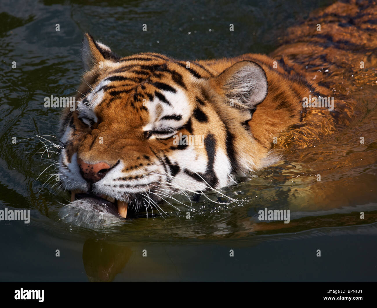 Close-up portrait of a Siberian Tiger swimming in the water - Stock Image
