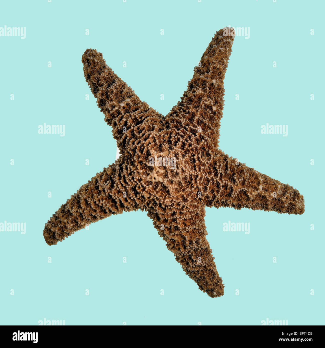 Starfish on light blue backround - Stock Image