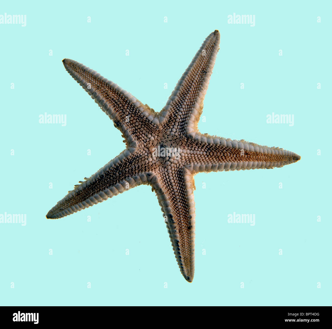 Starfish on a plain light blue background - Stock Image