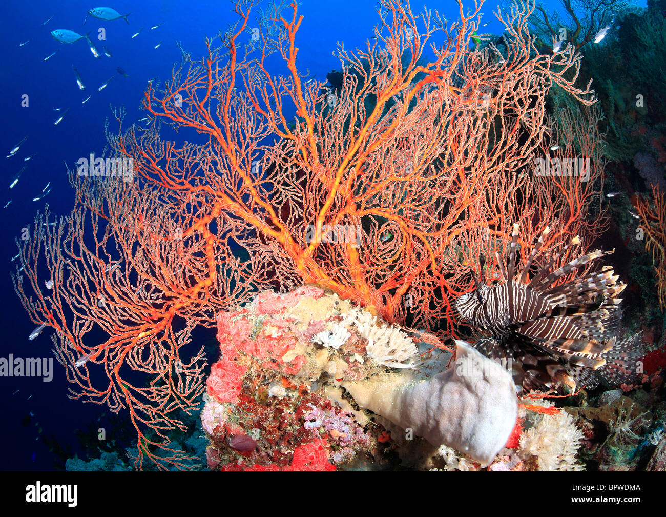 a  colorful reef scene with red sea fans, tropical fish and a lionfish, with a blue water background, - Stock Image