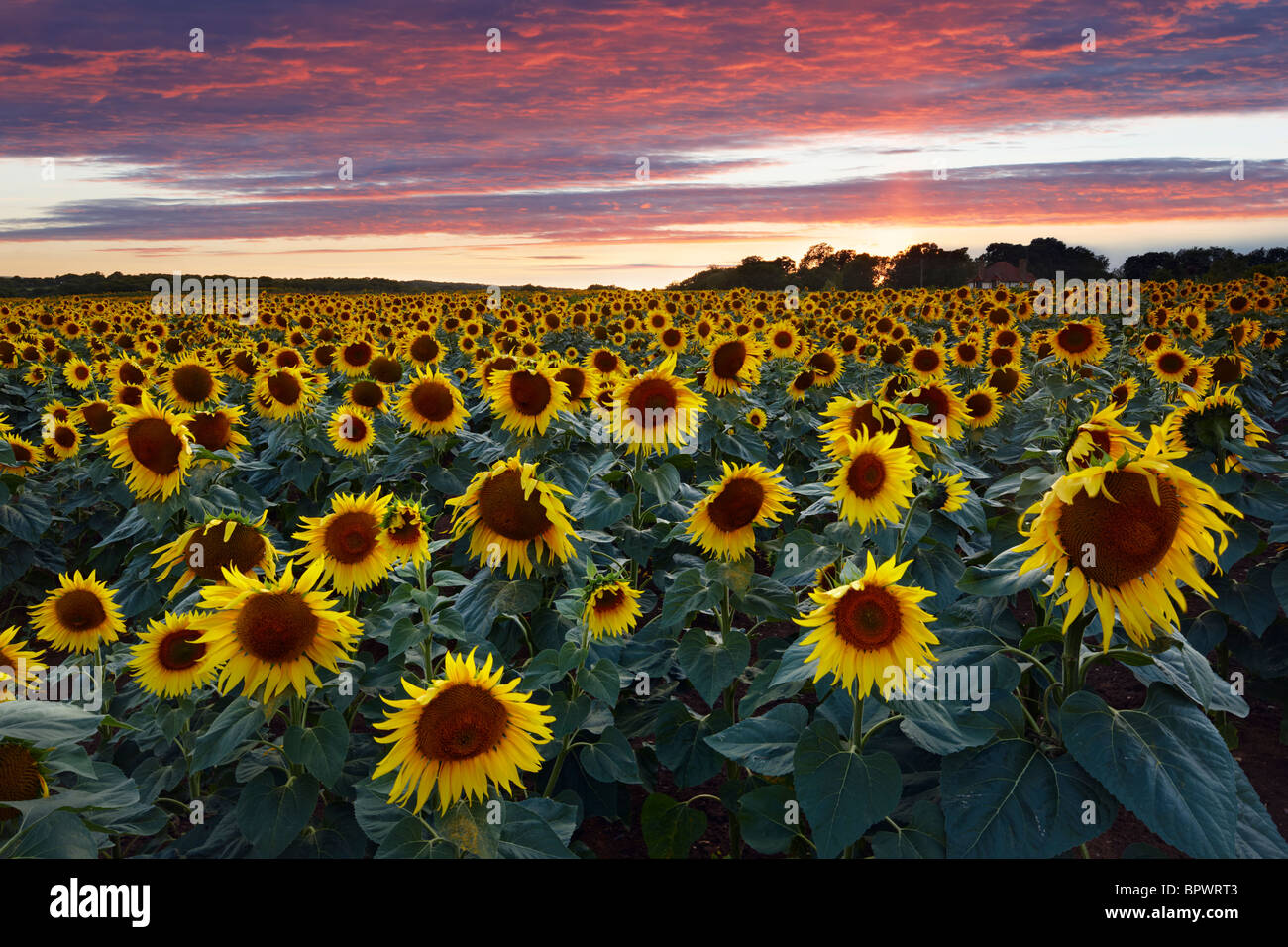 Sunflower field West Sussex. Grown to produce pure sunflower oil - Stock Image