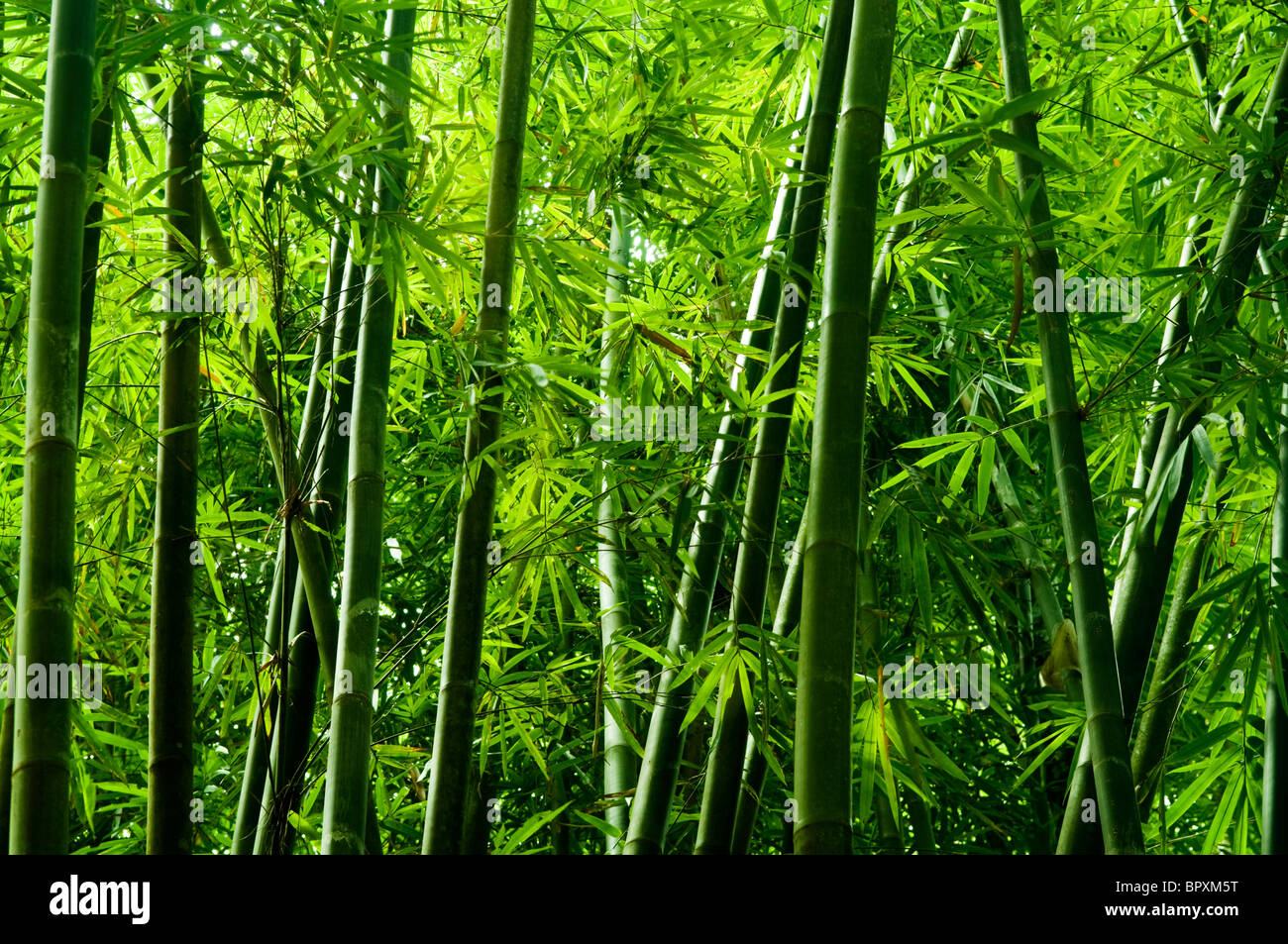 landscape of bamboo tree in tropical rain forest malaysia stock