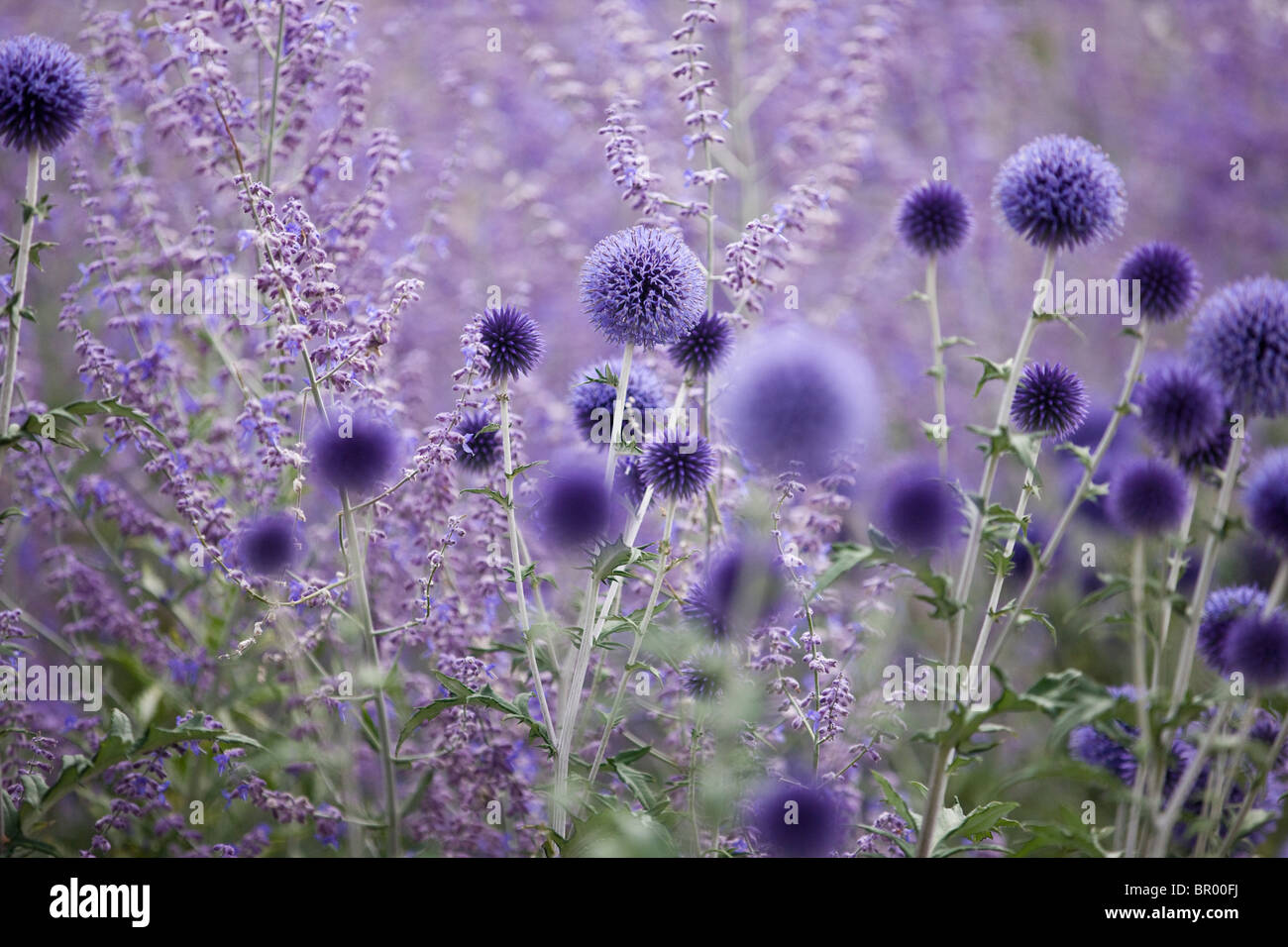 Purple globe thistles and lavender - Stock Image