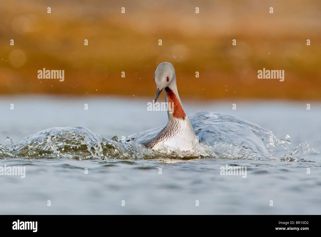 RED-THROATED DIVER (Gavia stellata) splashing at remote lake - Stock Image