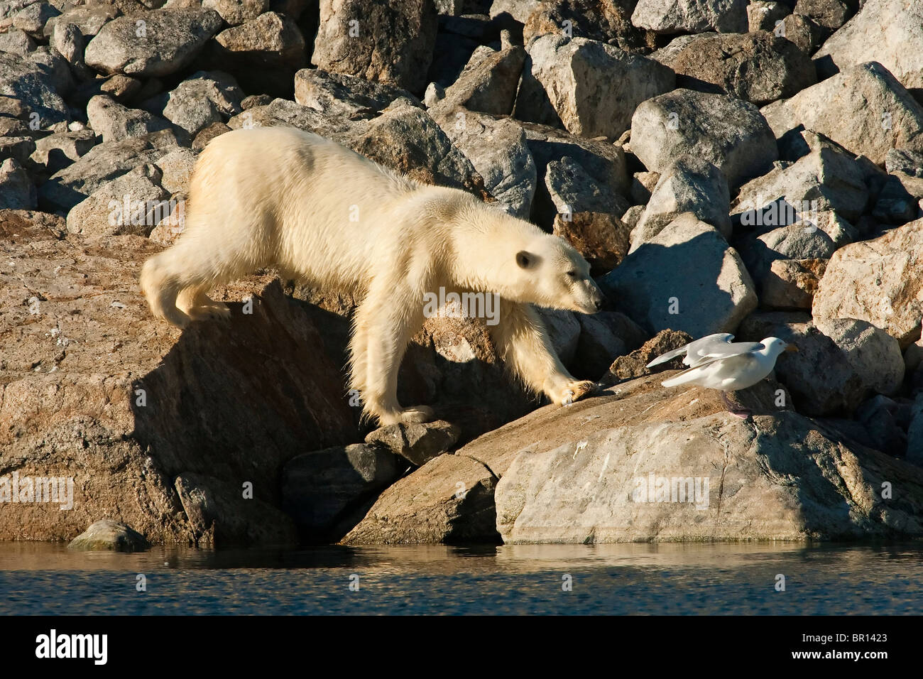 POLAR BEAR (Ursus maritimus) walking over boulders on seashore - Stock Image