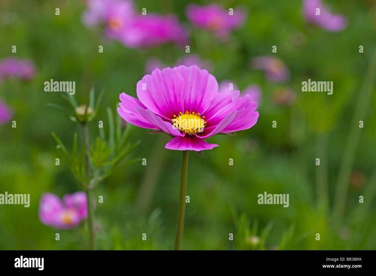 Bright Pink Cosmos - Stock Image