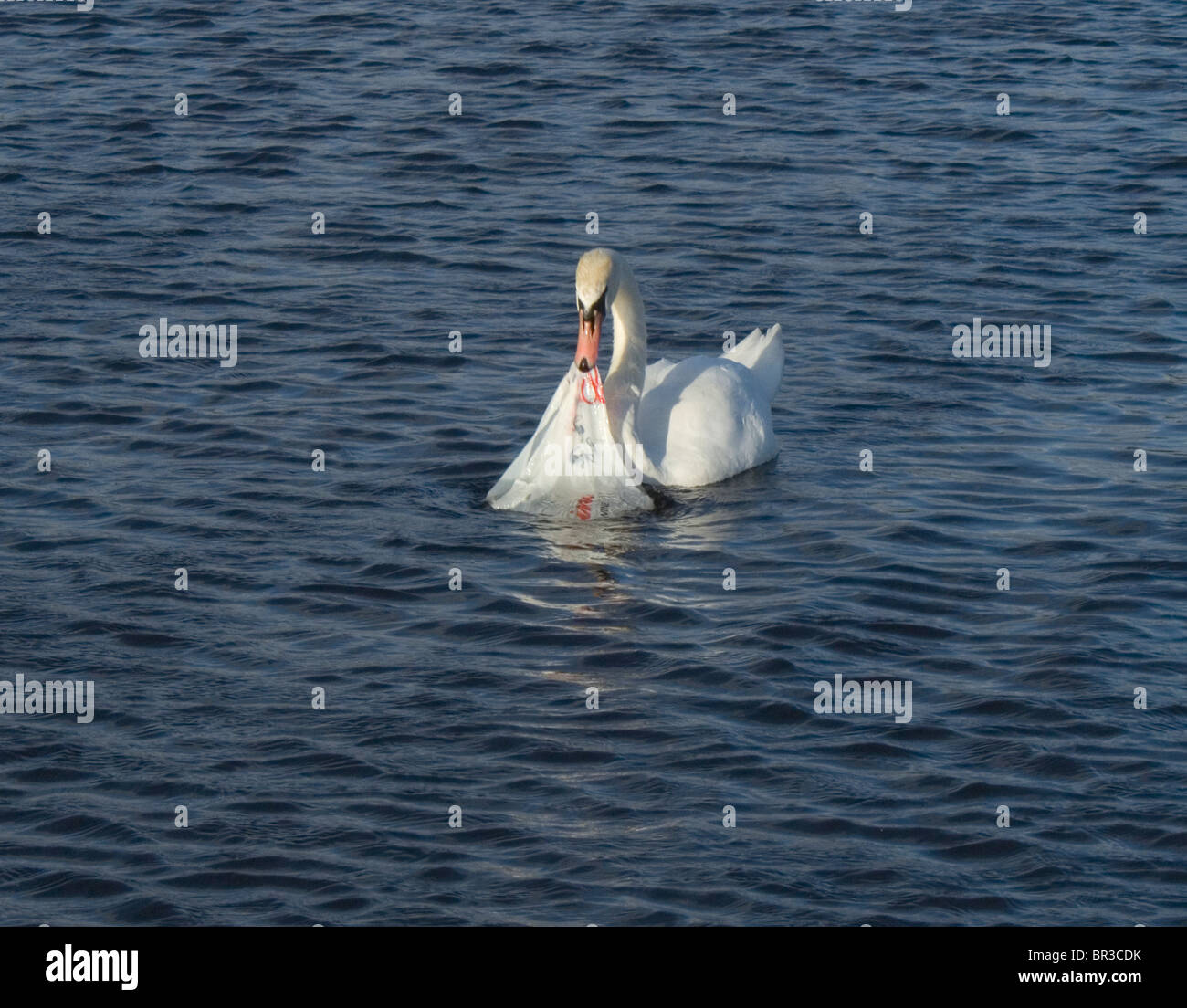 A white swan investigating a plastic supermarket bag which was floating in a pond in Hyde Park, London, England Stock Photo