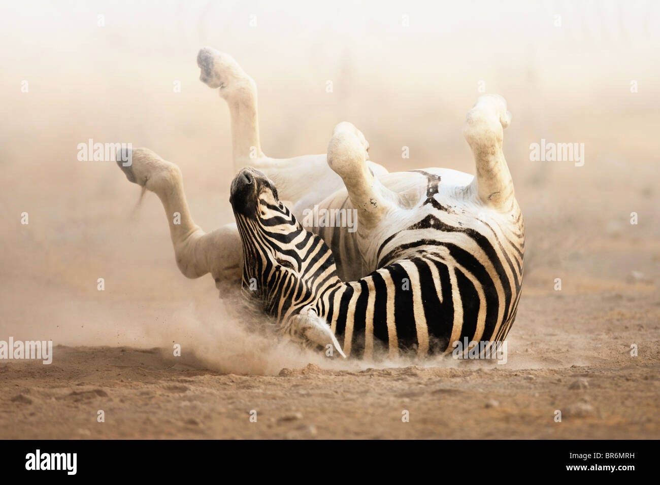 Zebra rolling on dusty sand in the early morning ; Etosha - Stock Image