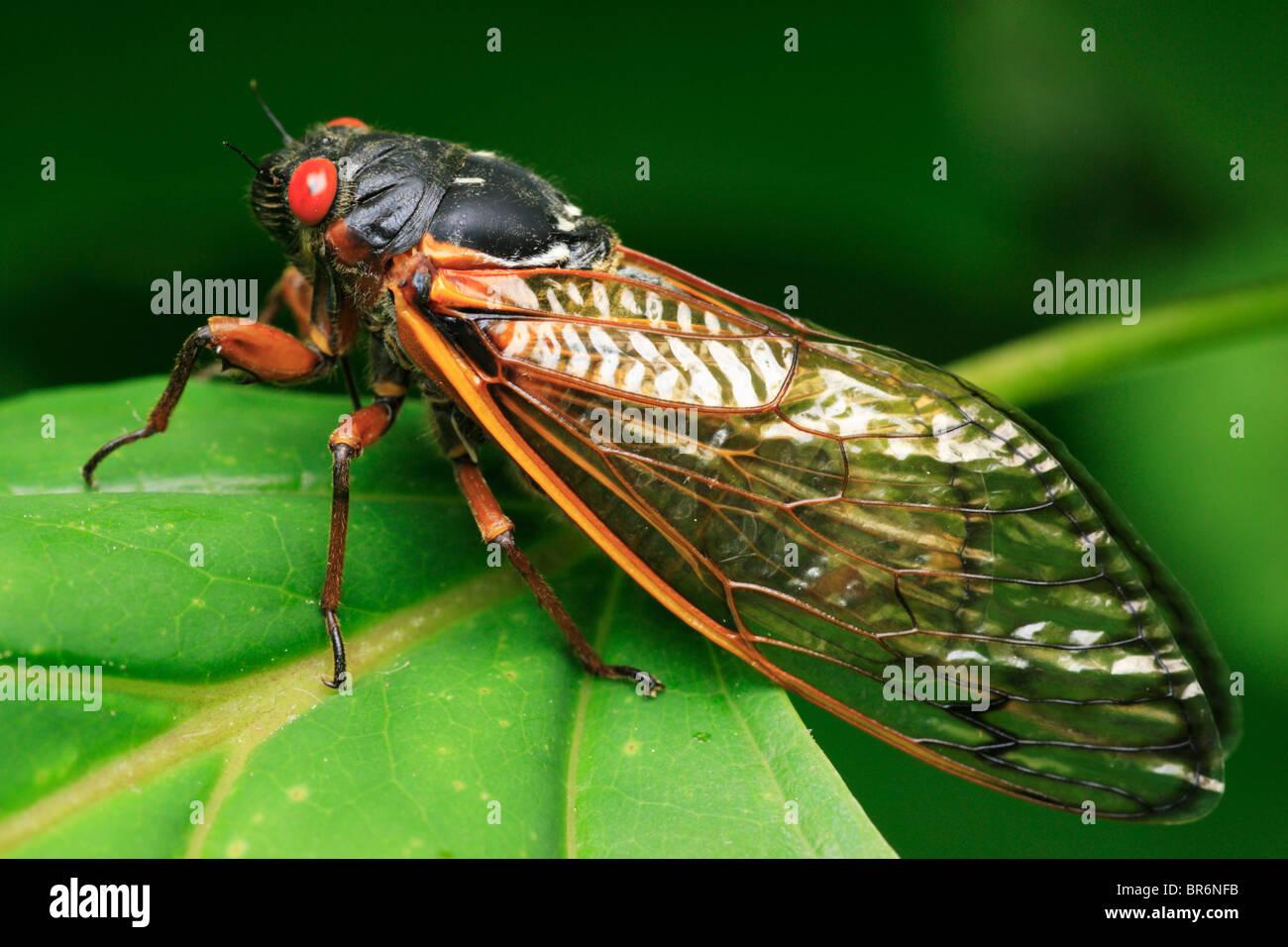 Macro view of a 17 year cycle Cicada, Brood X.   Washington, DC, USA - 2004. Stock Photo