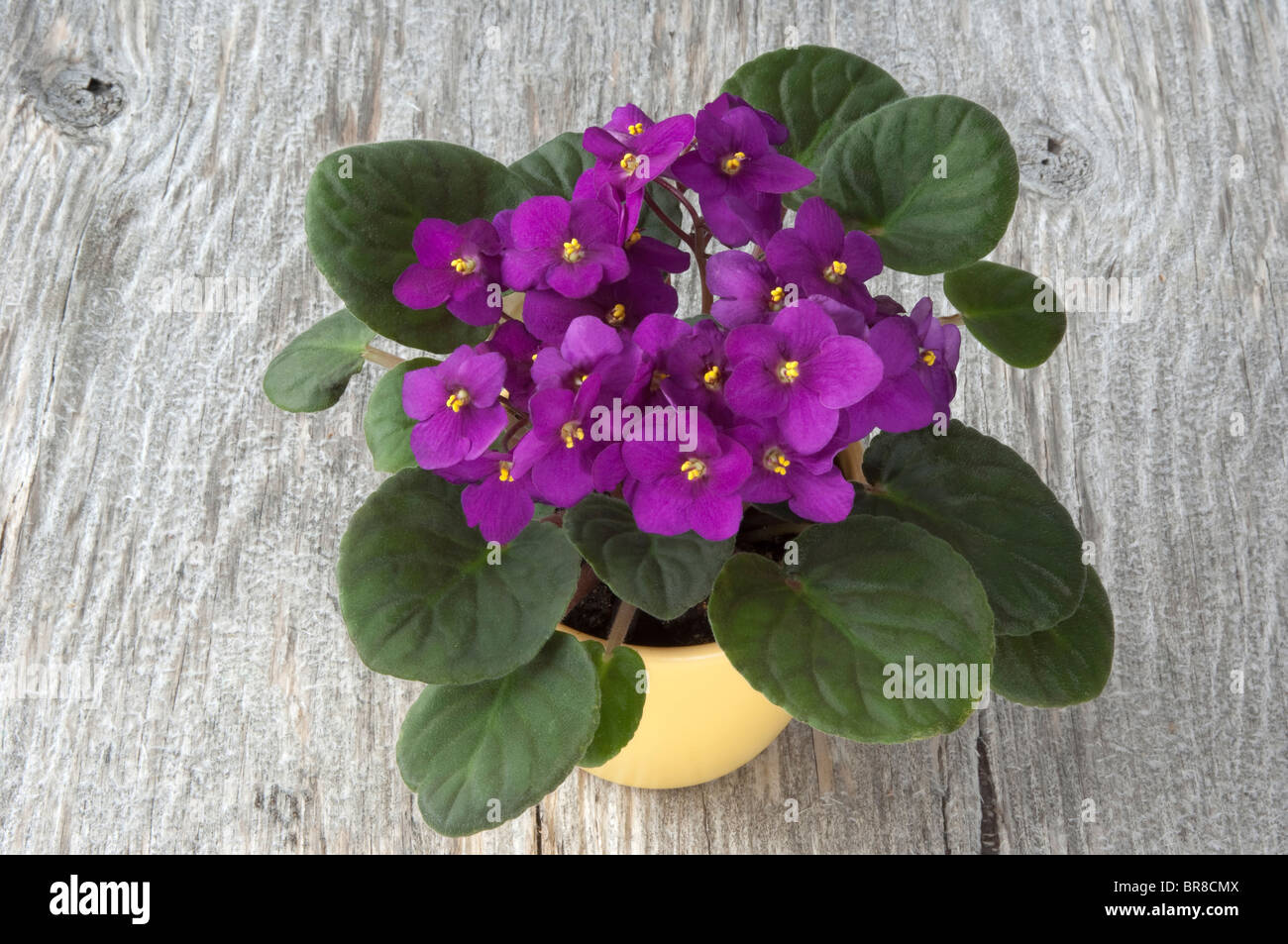 Saintpaulia, African Violet (Saintpaulia ionantha-Hybrid), potted plant with purple flowers on wood. - Stock Image