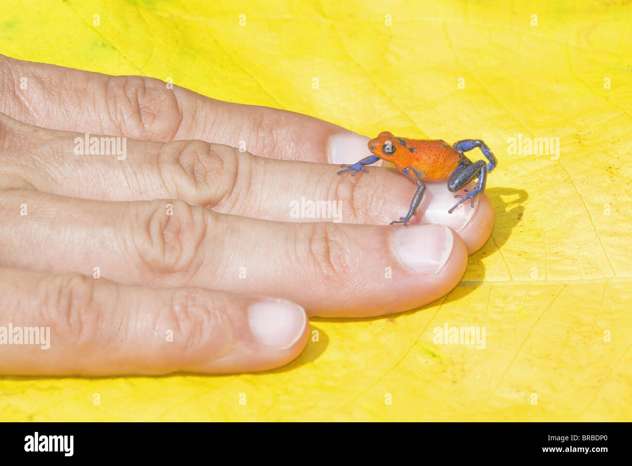 Blue jeans dart frog (Dendrobates pumilio) on human hand, Costa Rica, Central America - Stock Image