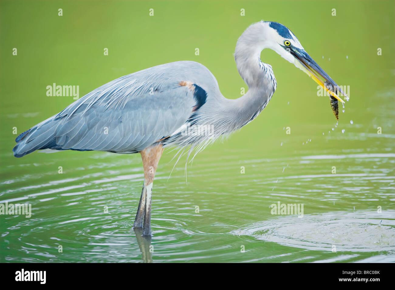 Great blue heron with fish, standing in water, Sanibel Island, J. N. Ding Darling National Wildlife Refuge, Florida, - Stock Image