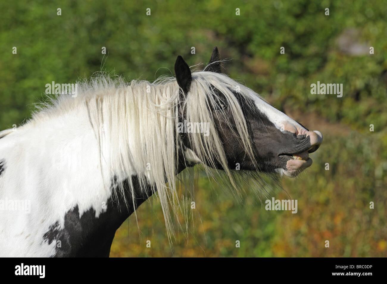 Gypsy Vanner Horse (Equus ferus caballus), mare doing the flehmen. - Stock Image