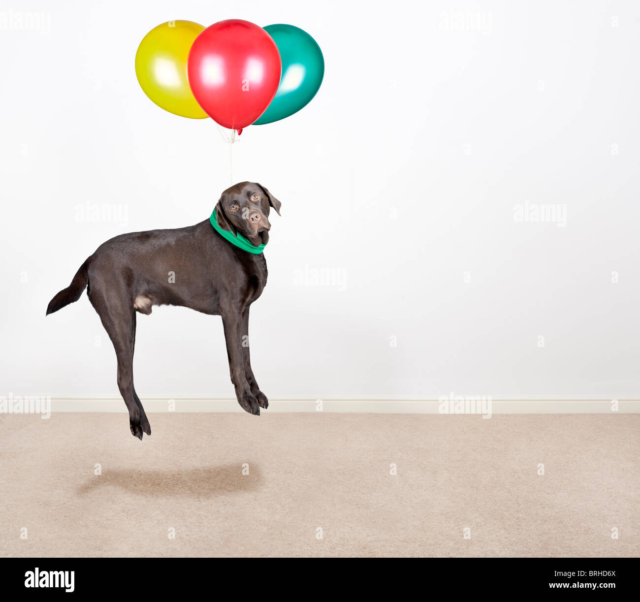 Shot of a Cute Chocolate Labrador Being Lifted by Balloons - Stock Image