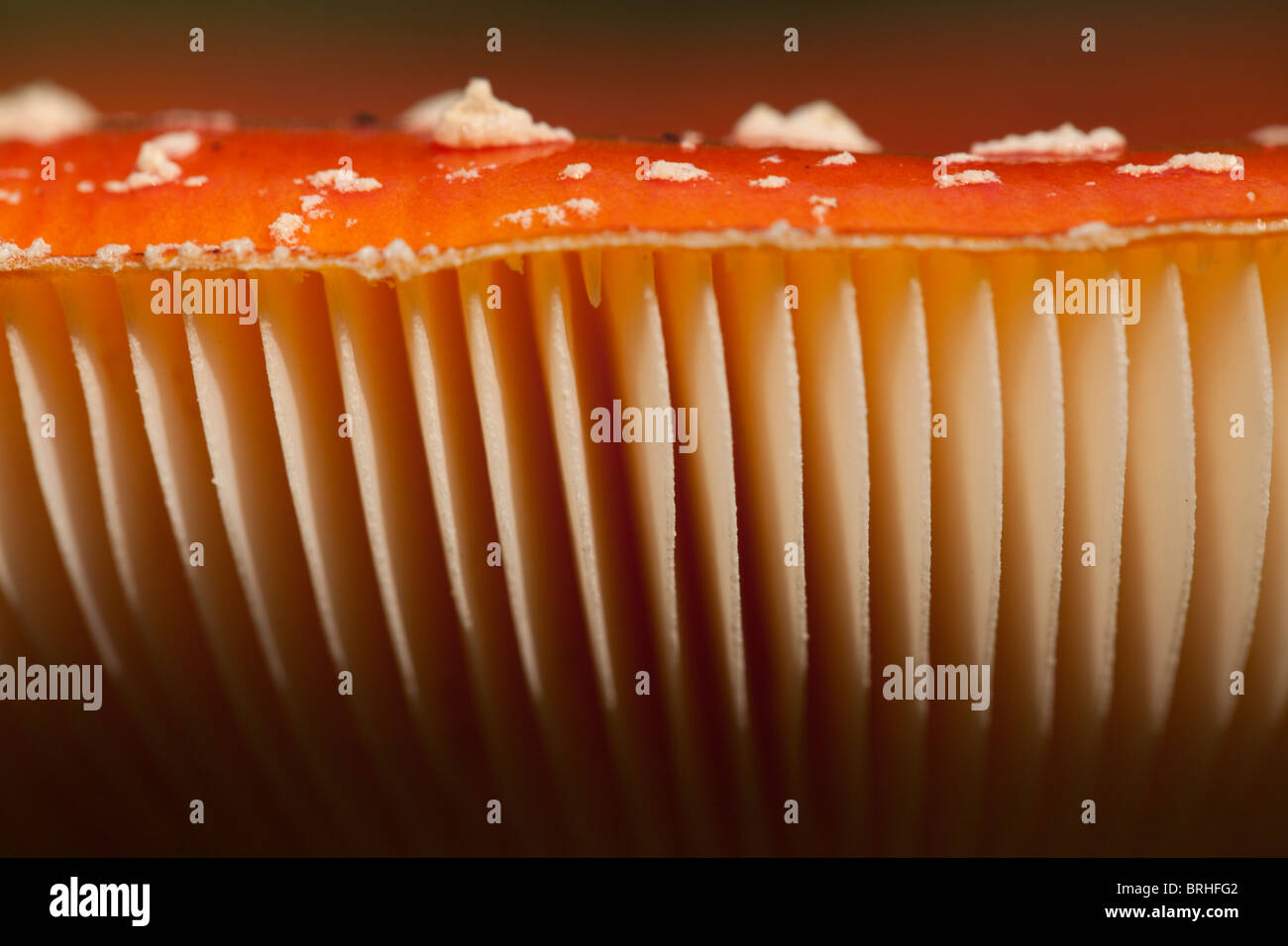Fly Agaric gills. Fall 2010, Herperduin, Herpen, The Netherlands. - Stock Image