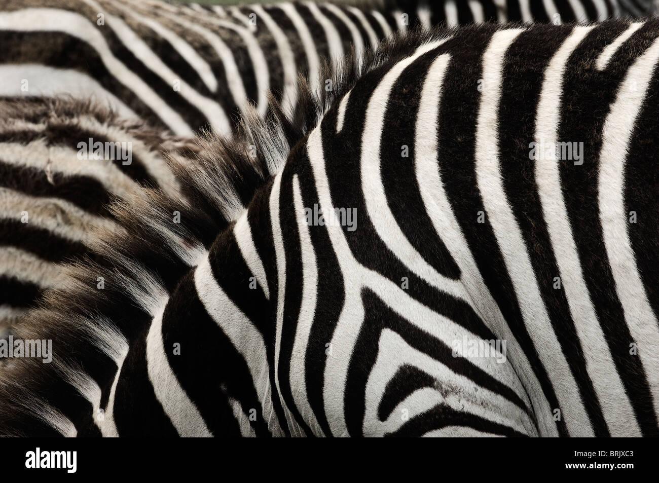 Zebra stripes. - Stock Image