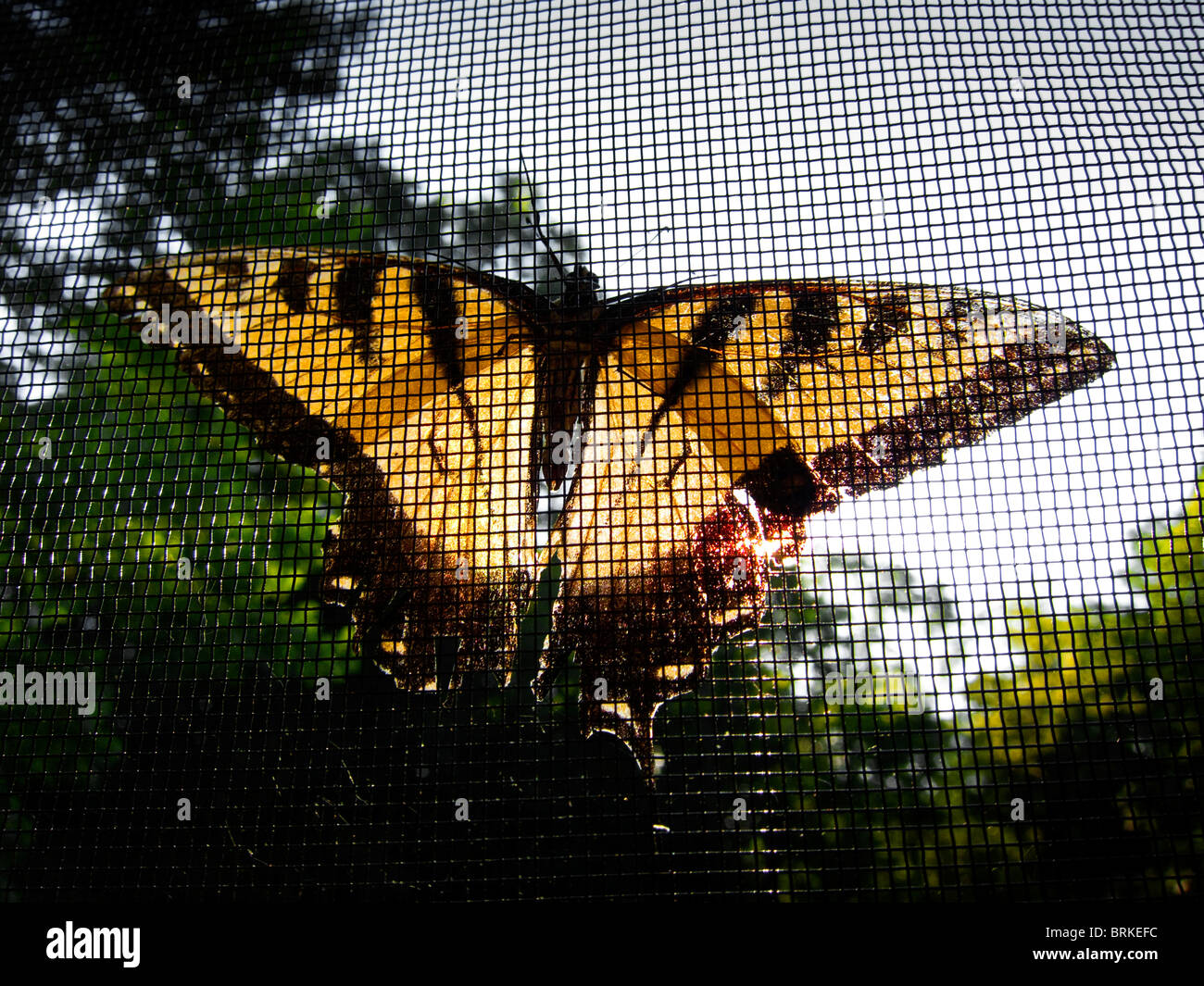 colorful Butterfly  resting  on porch screen - Stock Image