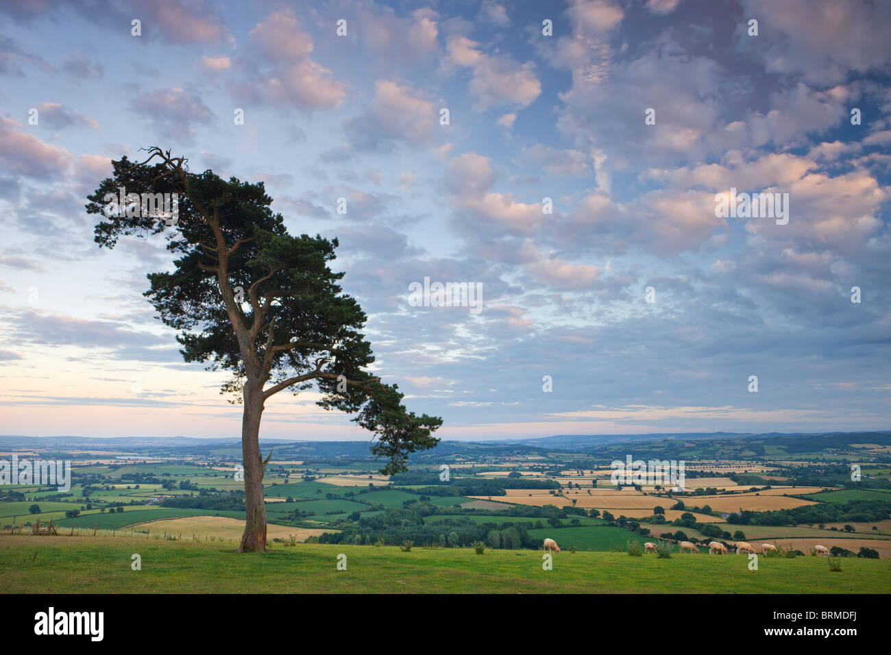 Pine tree on Raddon Hill, looking over agricultural countryside, Mid Devon, England. Summer (July) 2010. - Stock Image
