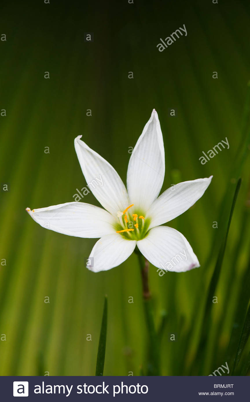 Zephyranthes Candid White Rain Lily Fairy Lily Zephyr Lily