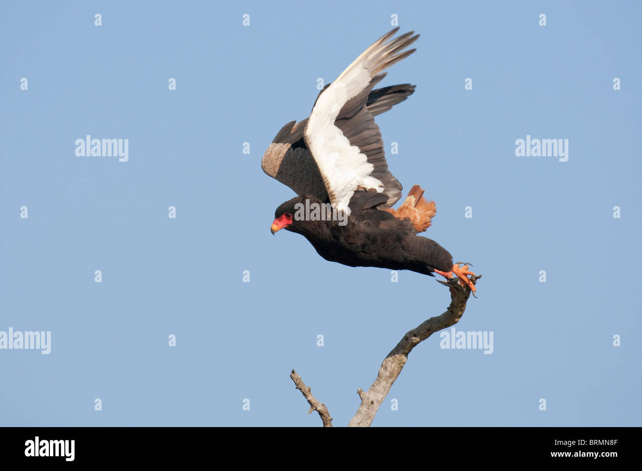 Bateleur taking off from branch - Stock Image