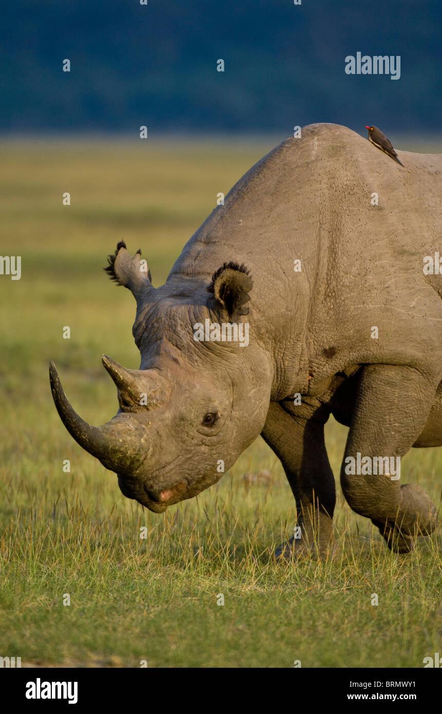 Portrait of a  Black rhinoceros (Diceros bicornis michaeli) East African sub-species. - Stock Image