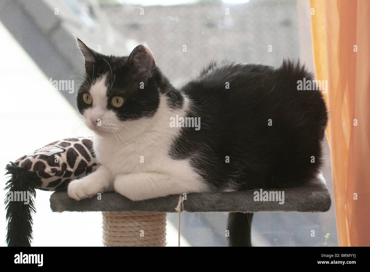 Domestic Cat (Felis silvestris, Felis catus). 11 year old tomcat lying on a scratching post. - Stock Image