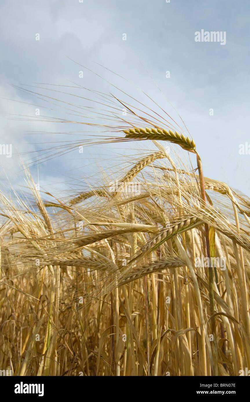 Field of barley ripening - Stock Image