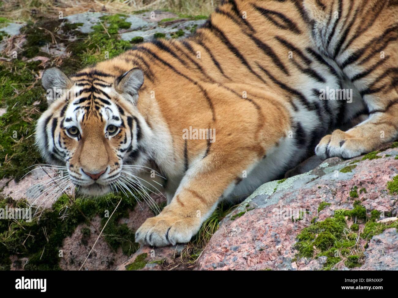Female Amur (Siberian) tiger on rocks looking at camera - Stock Image