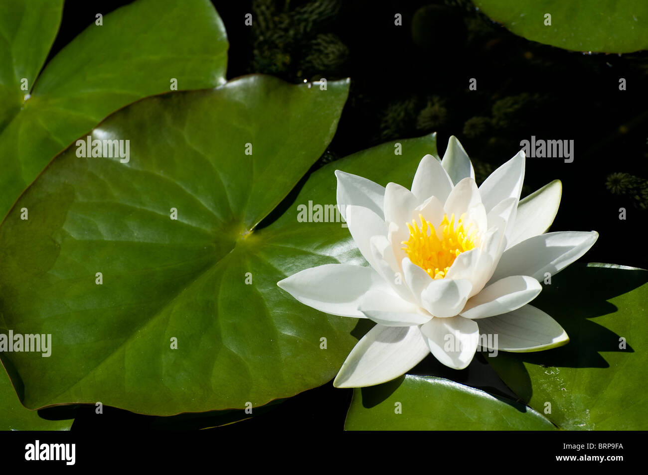 Pretty White Water Lily Flowers Amongst Lily Pads In A Pond Stock