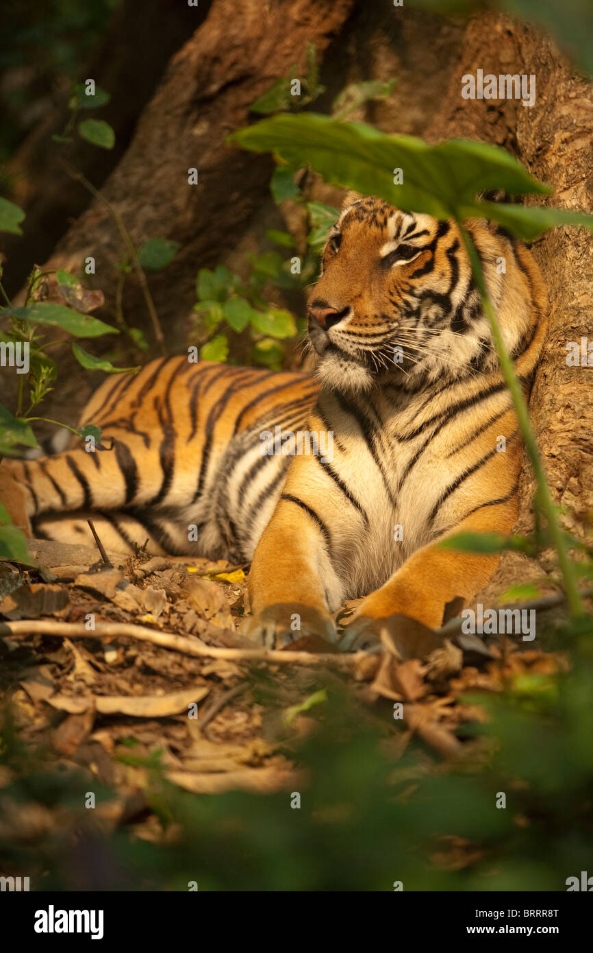 A tiger, rescued as a cub from poachers, sits at the foot of a tree in a safe compound in Laos. - Stock Image