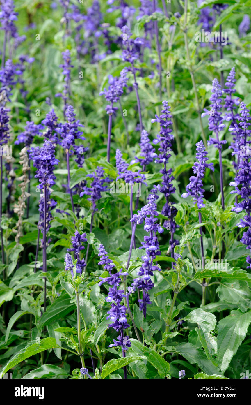 Salvia farinacea victoria stock photos salvia farinacea victoria salvia farinacea victoria perennial herbaceous plant purple flowers bloom blossom officinale plant sage stock image mightylinksfo Gallery