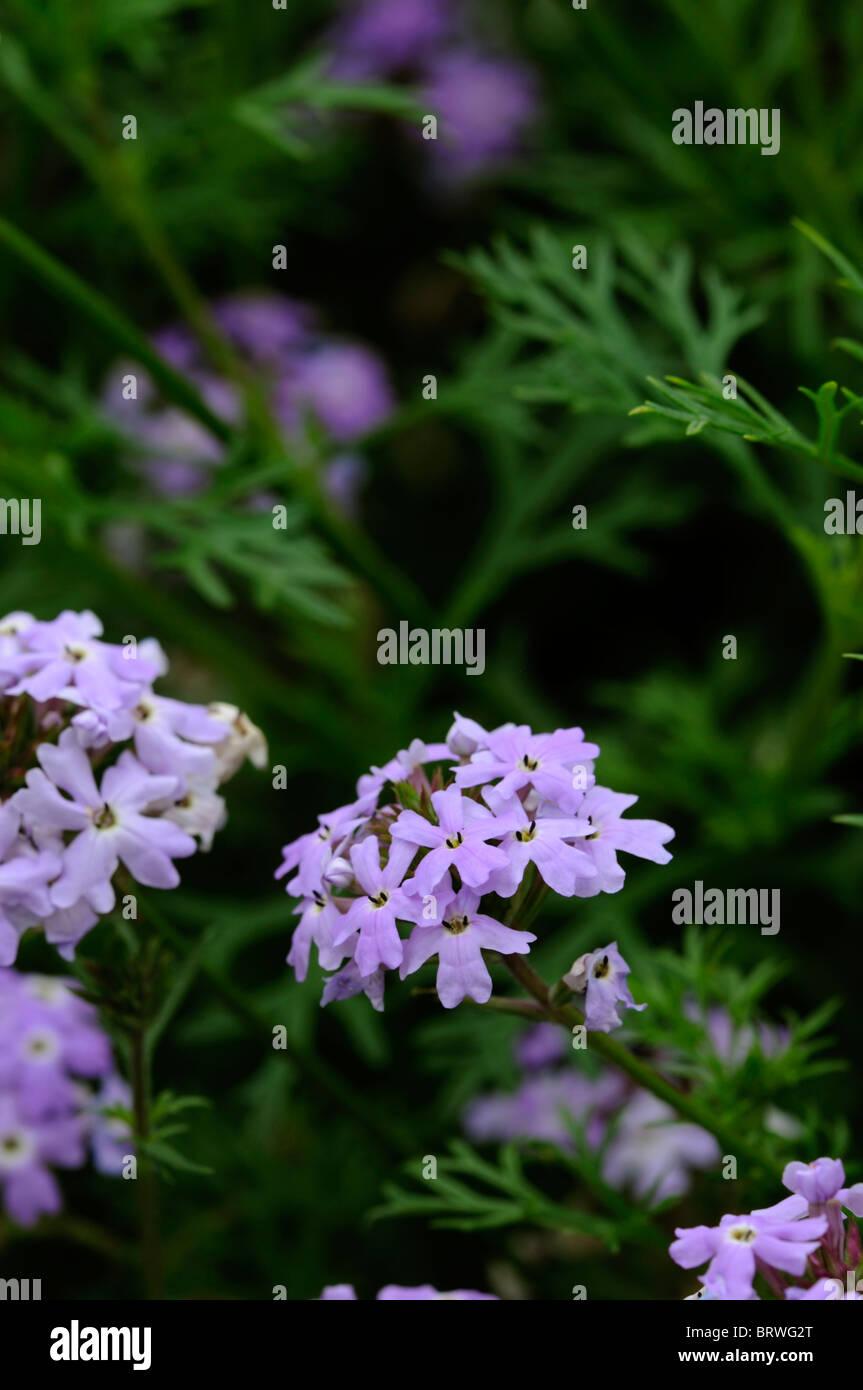 Verbena sterling star tender perennial light lavender blue flowers verbena sterling star tender perennial light lavender blue flowers spreading trailing stems deeply cut foliage izmirmasajfo
