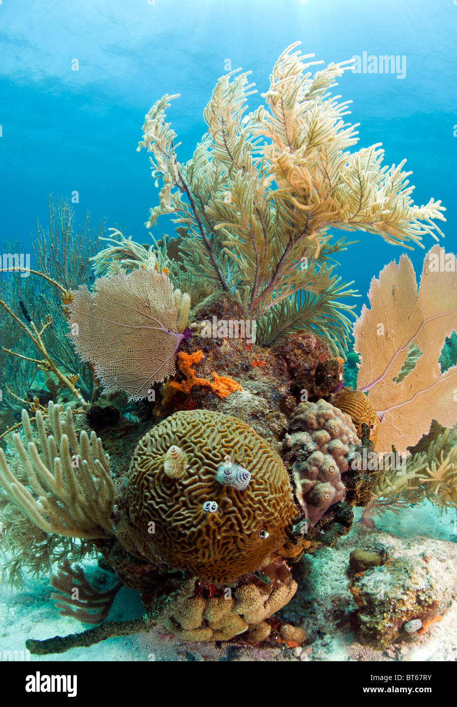 Coral reef off the coast of Roatan Honduras with brain coral and christmas tree worms - Stock Image