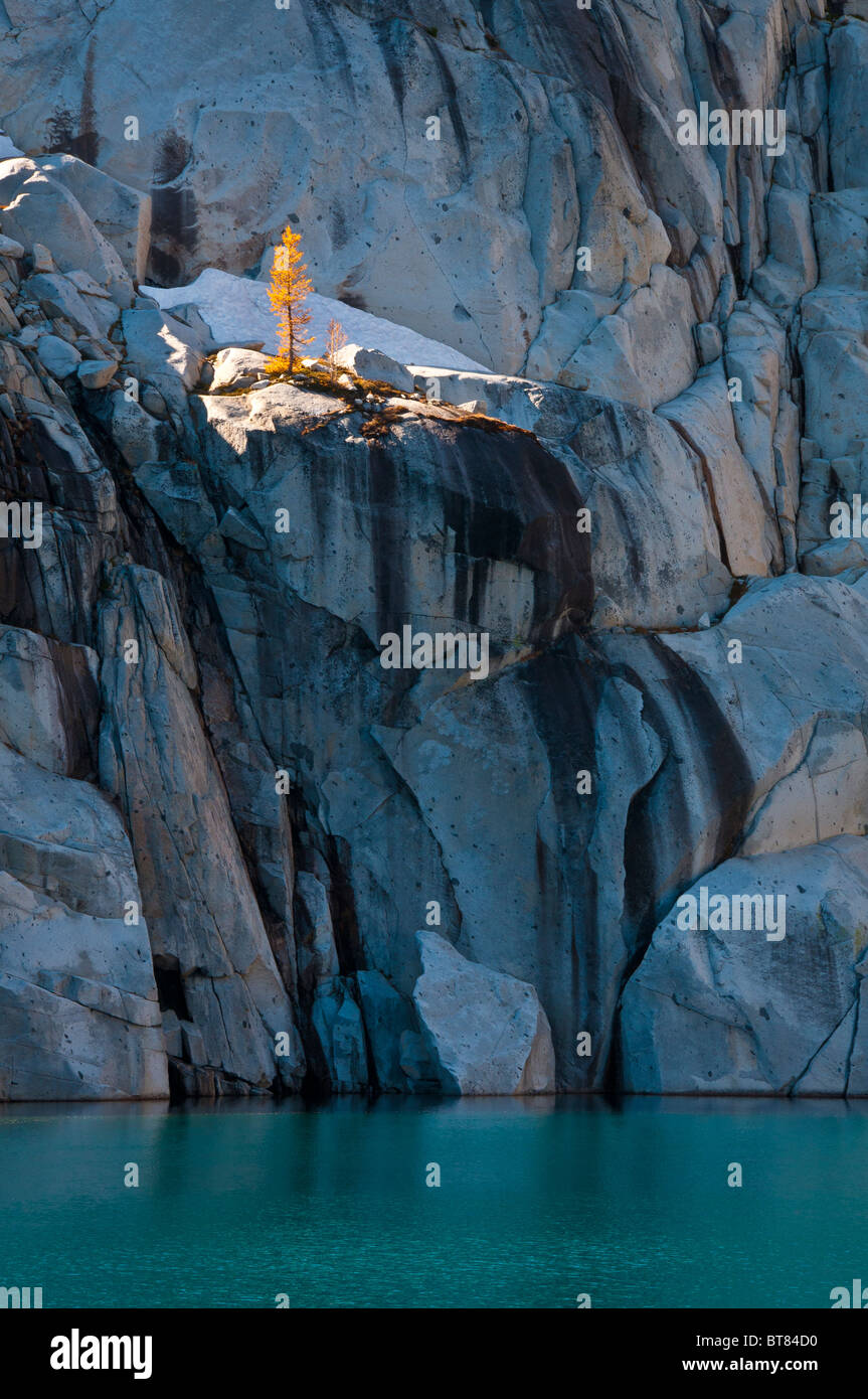 Alpine Larch Tree On Granite Above Inspiration Lake In The Stock