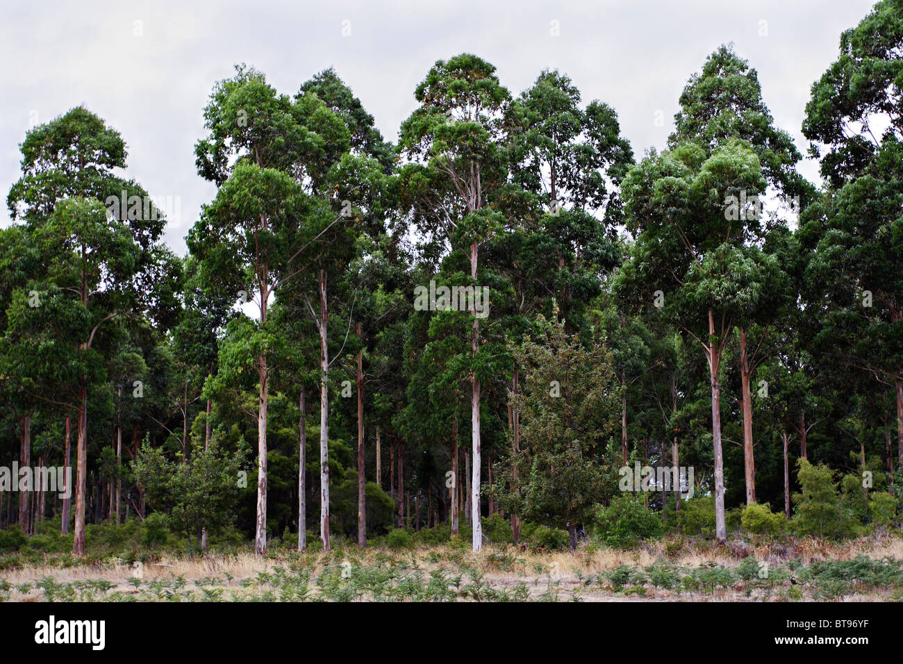 Trees planted for electric and telephone poles in Margaret River, Western Australia. - Stock Image