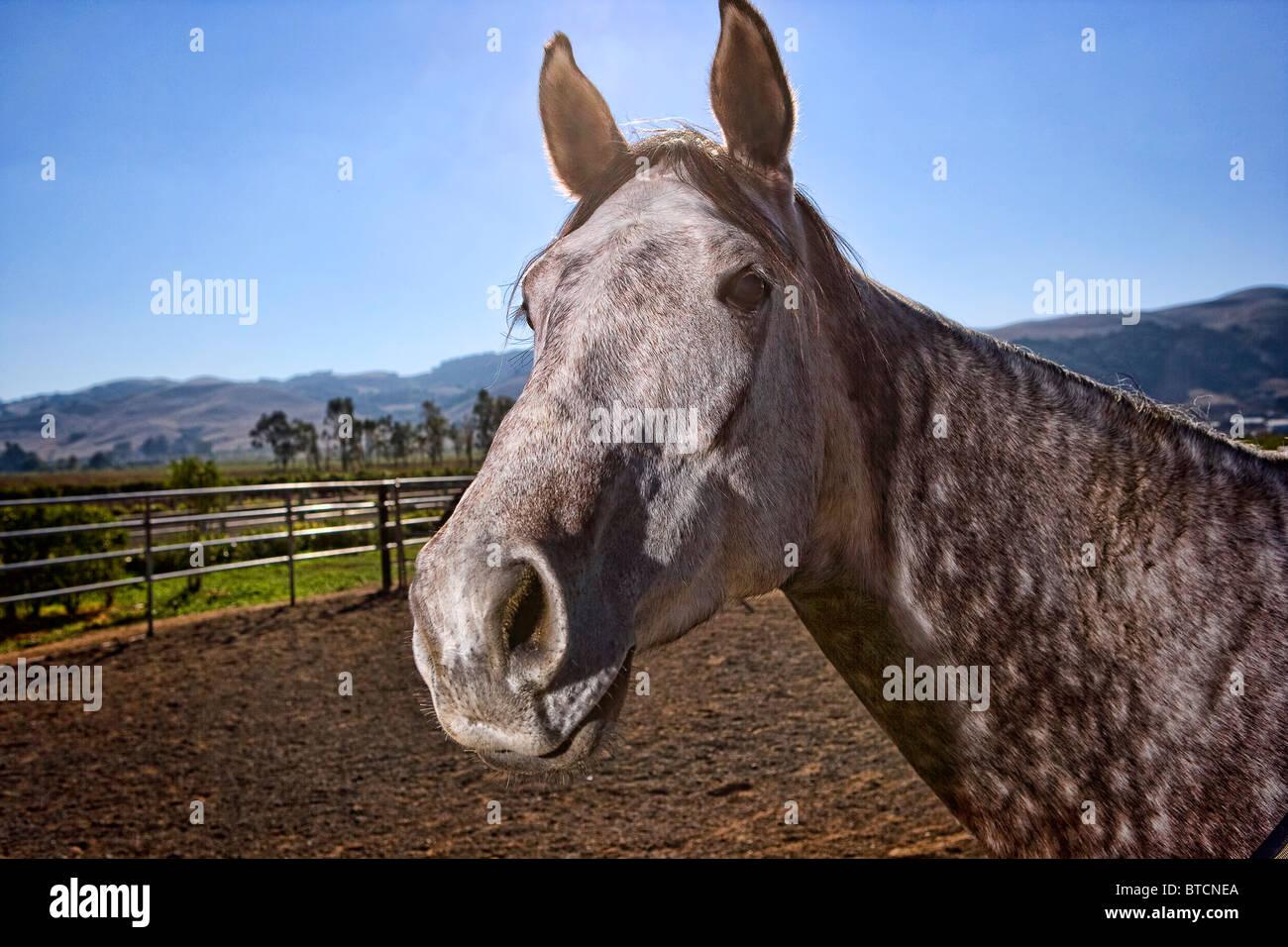 A grey horse head shot - Stock Image
