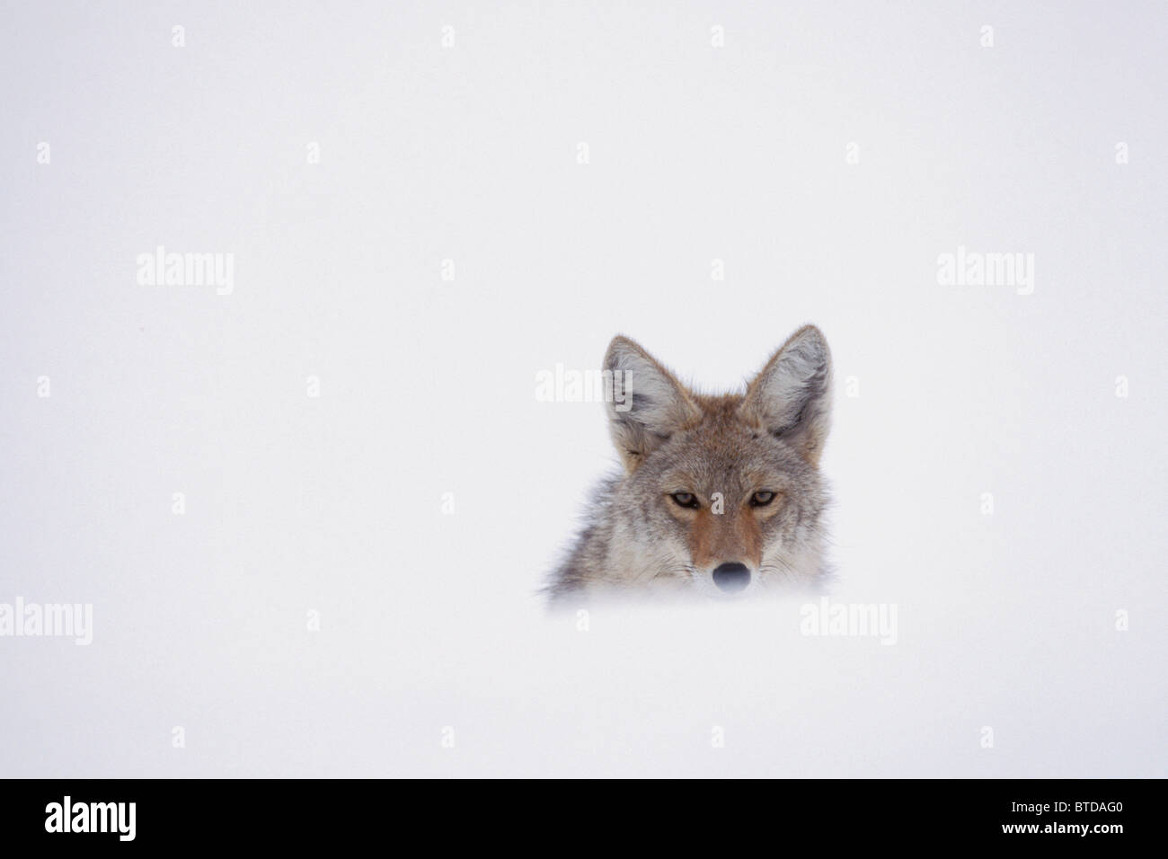 Coyote peering over a snow drift, Yellowstone National Park, USA, Winter - Stock Image