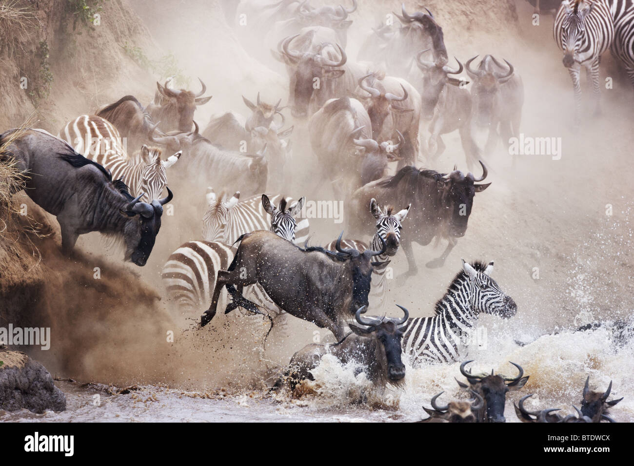 Wildebeest and zebra crossing the Mara River.Masai Mara National Reserve. Kenya - Stock Image