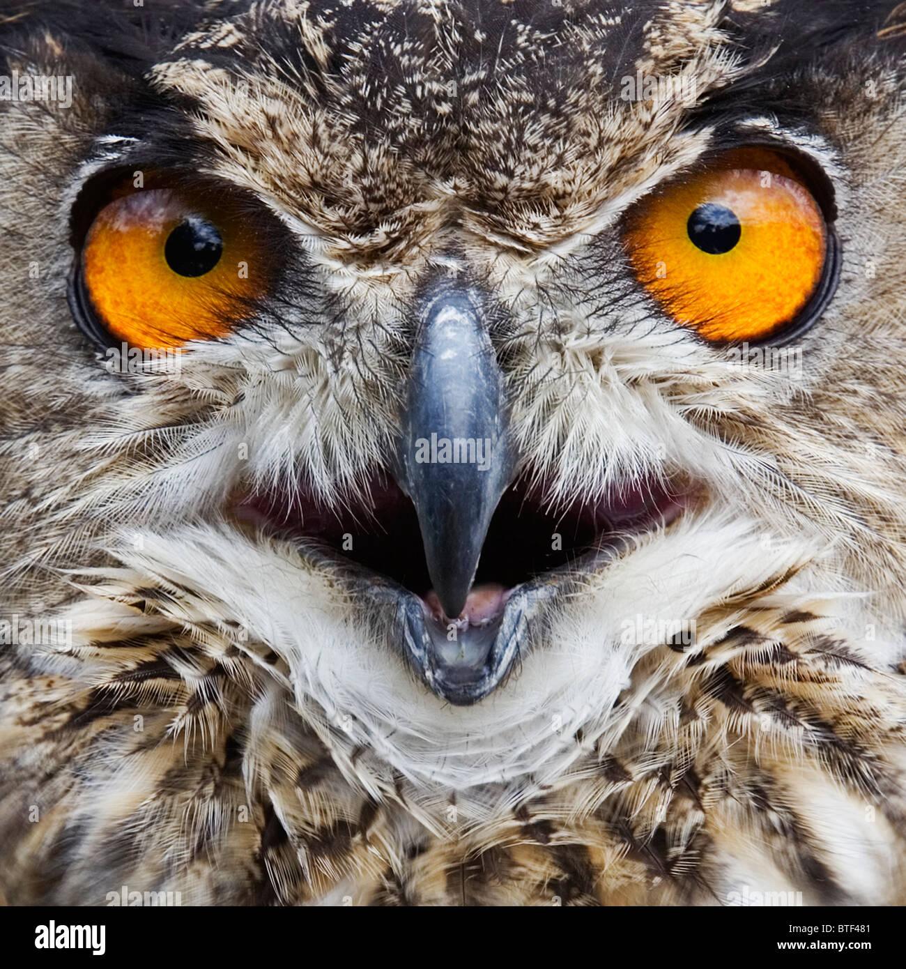 European Eagle Owl,  Close-up - Stock Image