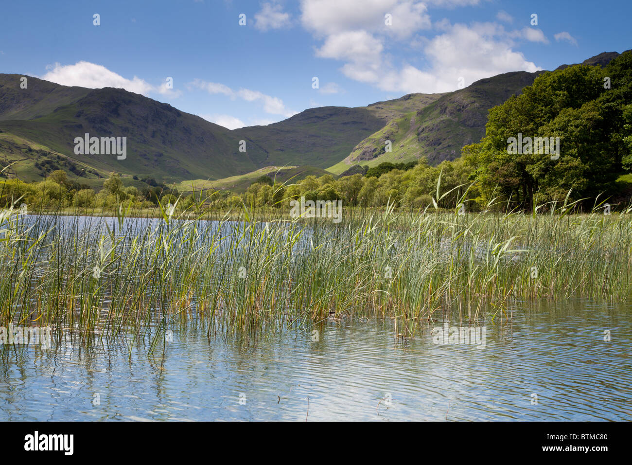 Reeds growing in a Lake District Tarn - Stock Image