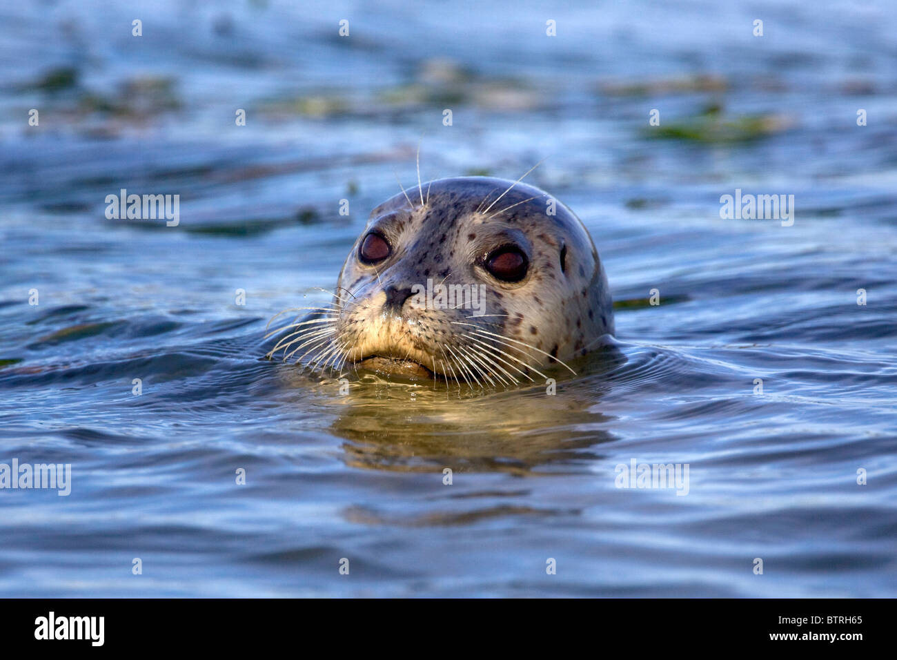 A harbor seal (Phoca vitulina) pops its head above water in Elkhorn Slough - Moss Landing, California. - Stock Image