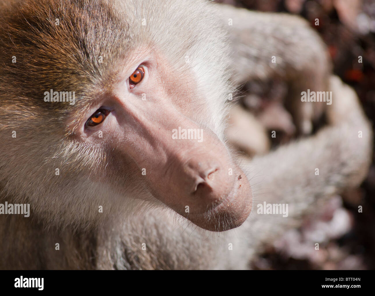 Papio Hamadryas Baboon with intense eye contact. Stock Photo