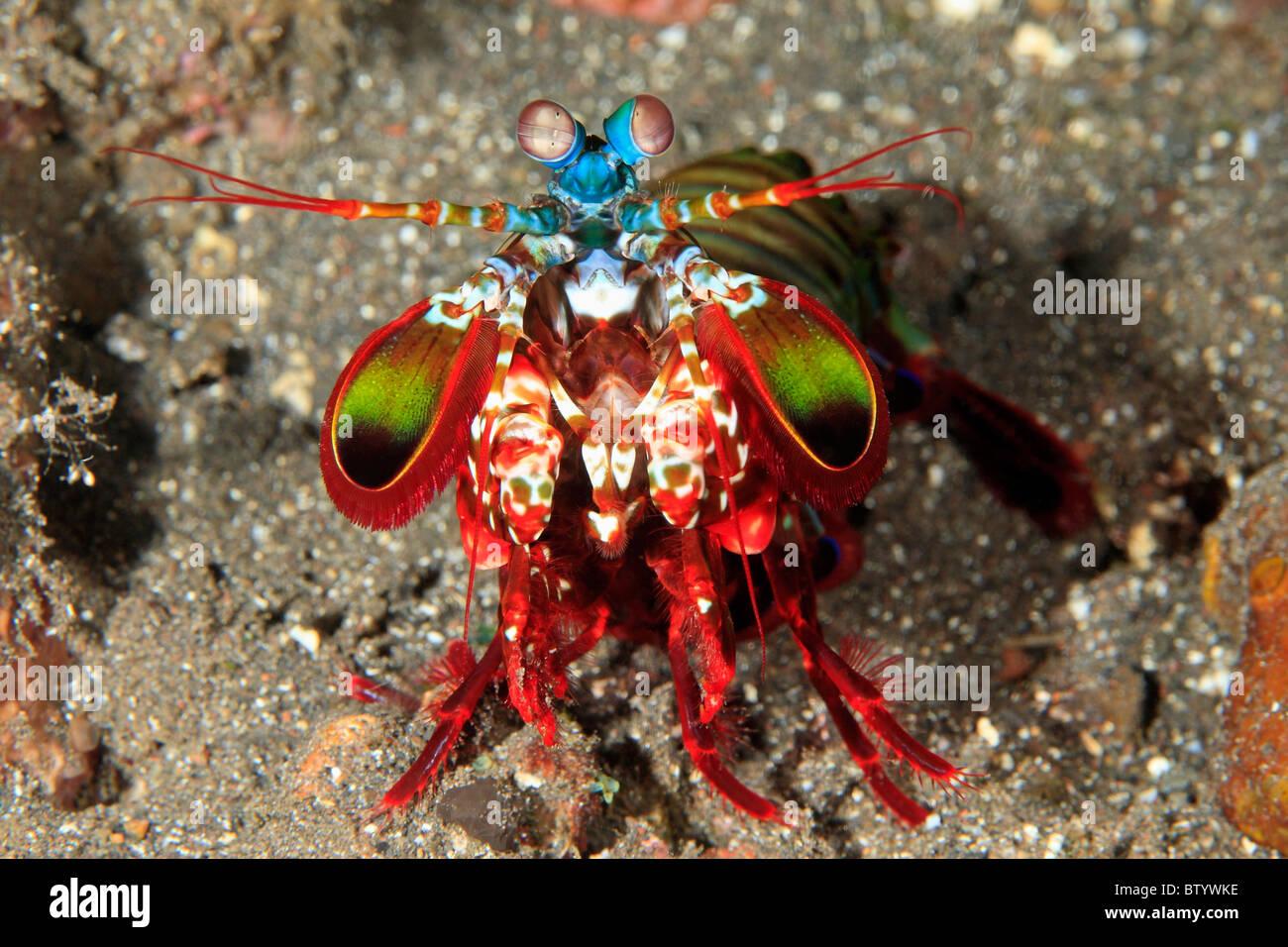 peacock-mantis-shrimp-odontodactylus-scyllarus-also-known-as-a-harlequin-BTYWKE.jpg
