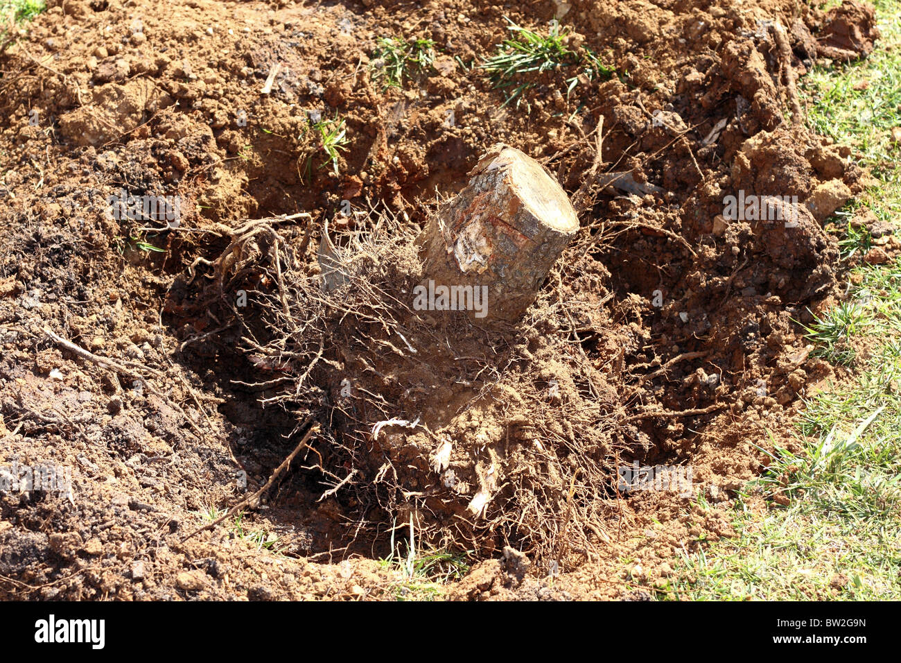 feelled tree roots removed soil sand on garden nature consevation metaphor - Stock Image
