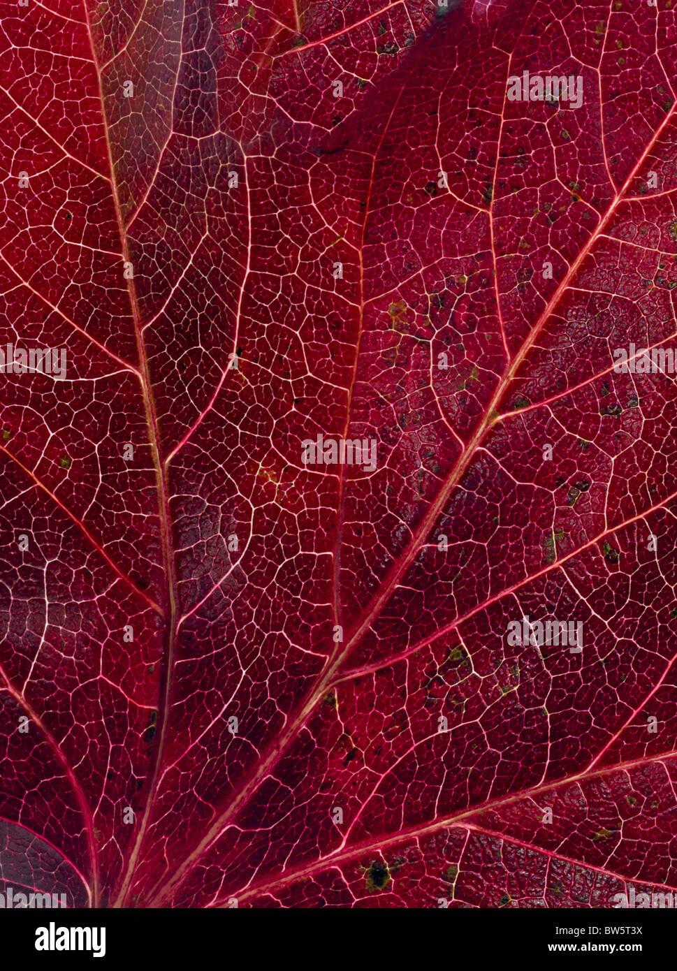 Macro close-up of leaf veins Stock Photo