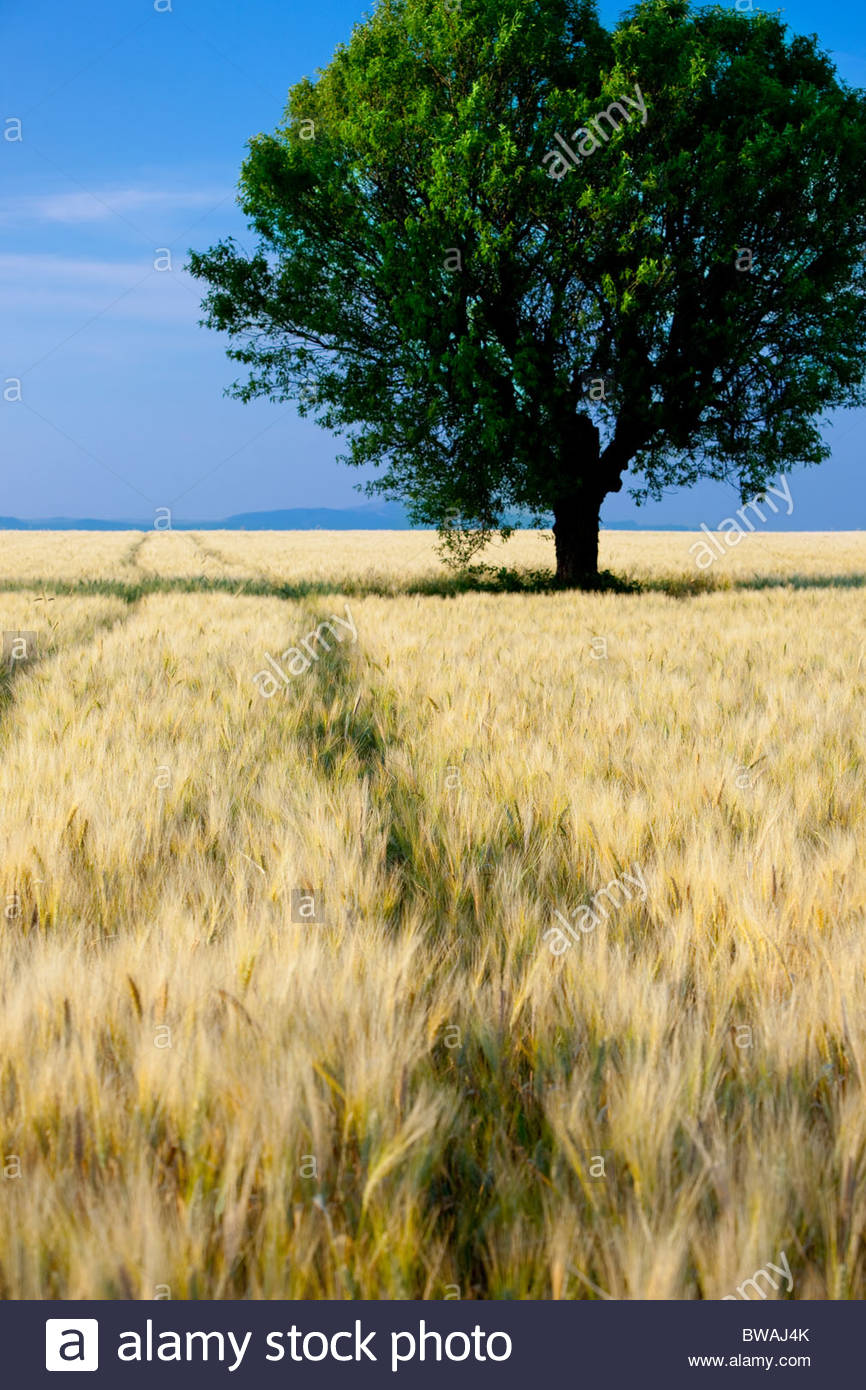 Lone tree in field of barley on the Valensole Plateau, Provence France - Stock Image