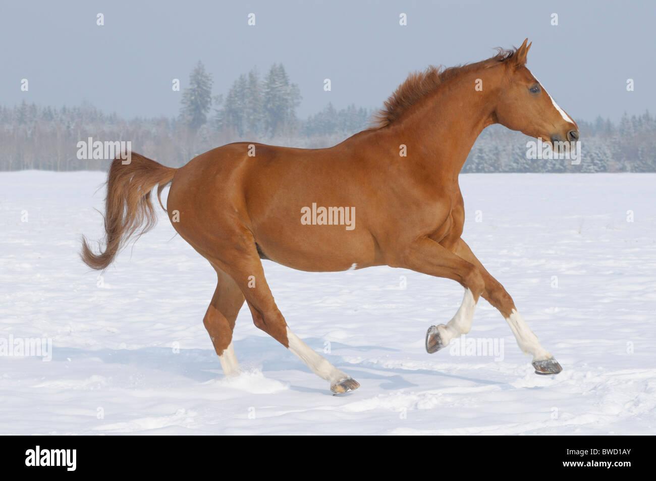 German warmblood horse galloping in the winter paddock - Stock Image