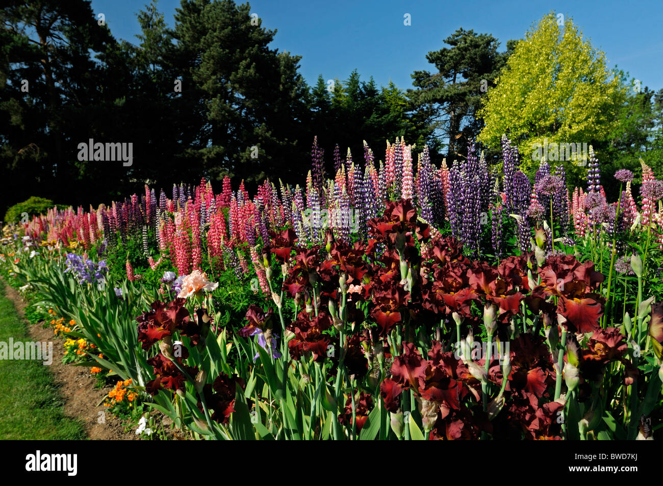Mixed herbaceous perennial flower bed border garden multi multiple mixed herbaceous perennial flower bed border garden multi multiple color colors summer colorful colourful lupin bearded iris izmirmasajfo Gallery