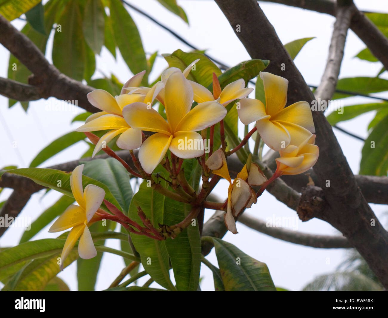 Waxy yellow tree flower in key west in the florida keys in the state waxy yellow tree flower in key west in the florida keys in the state of florida usa mightylinksfo Image collections