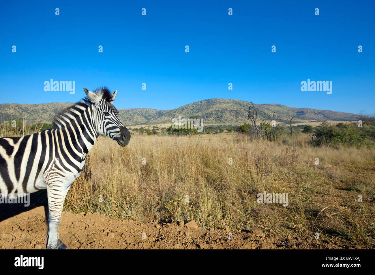 Zebra in open plain, Pilansberg National Park, South Africa - Stock Image